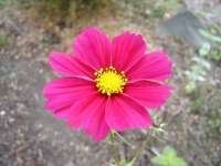 Common Cosmos Pink