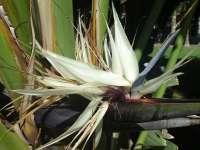 Giant White Bird Of Paradise