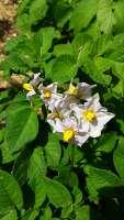 potato flowers