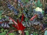 rhubarb dark leaves