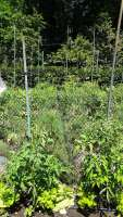 tomato plants with metal stakes