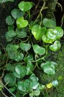 Philodendron with heart shaped leaves
